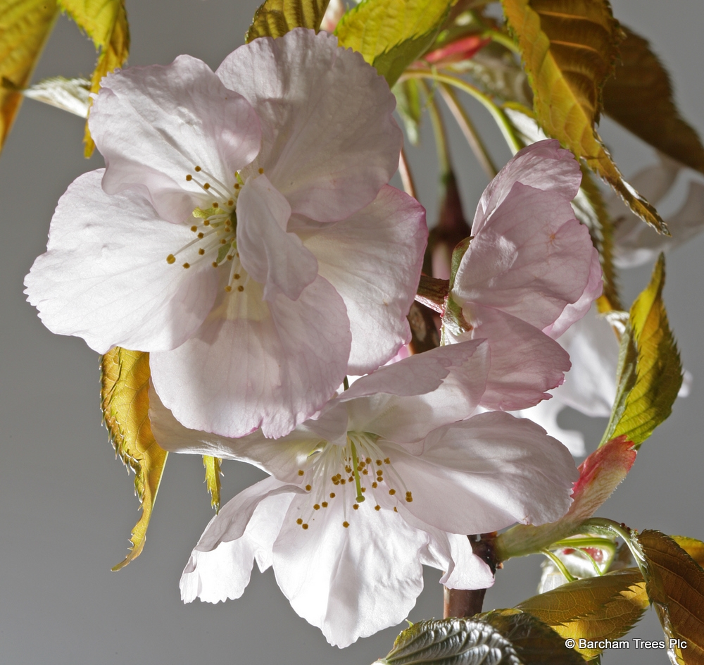 The pretty pinky white flower of Prunus Sunset Boulevard in detail
