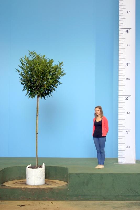 A Scaled, Medium sized specimen of Prunus laurocerasus Caucasica