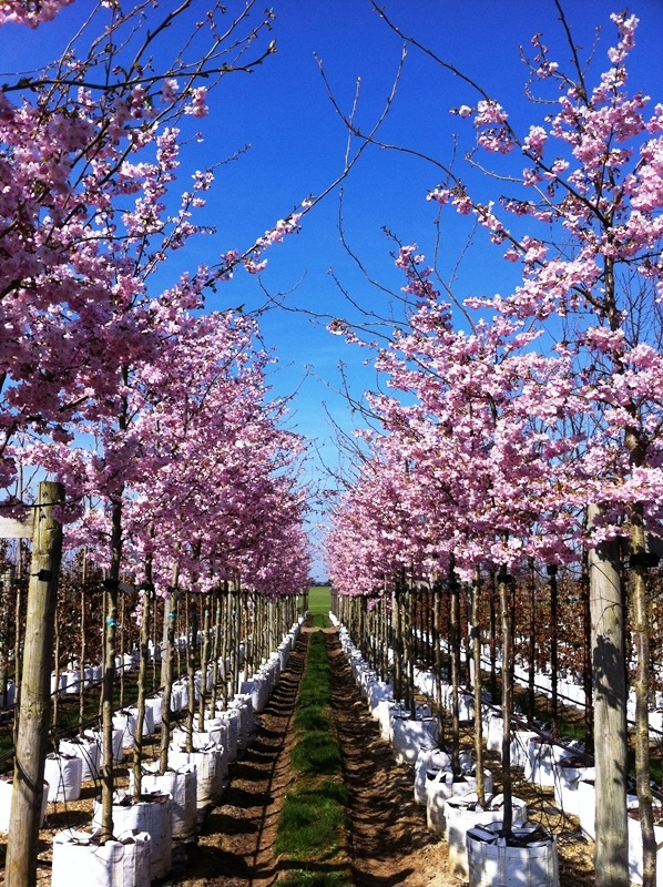 A double row of Prunus Accolade on the nursery at Barcham Trees