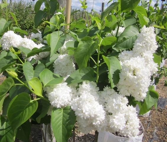 The stunning white fower of Syringa vulgaris Alice Harding