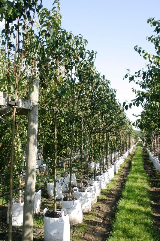 Malus baccata Street Parade in summer foliage on the Barcham Trees nursery