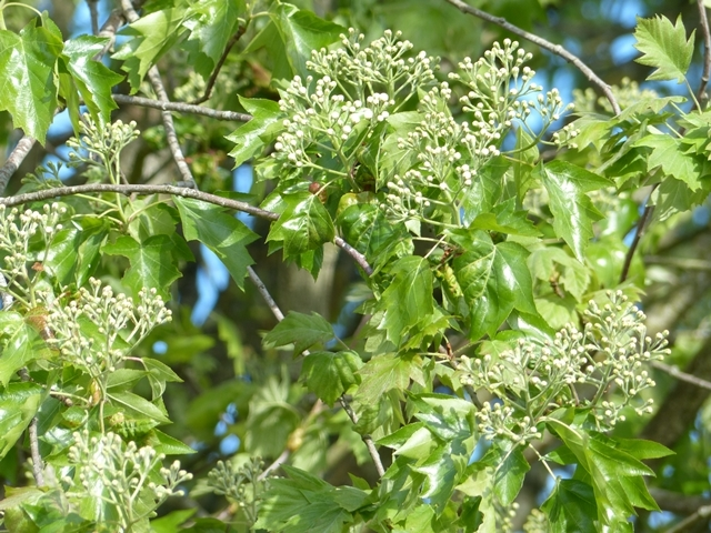 The flowers and leaves of Sorbus torminalis