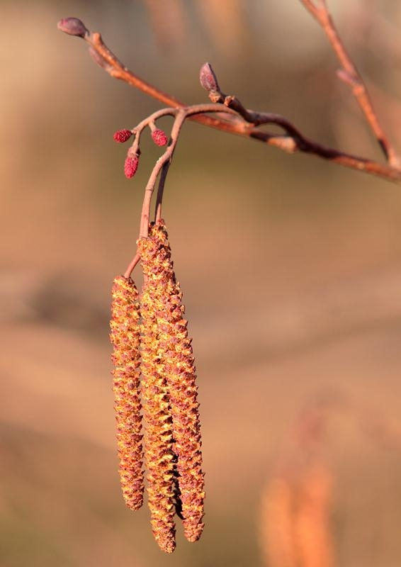 Catkins which adorn the Alnus glutinosa towards the end of the season