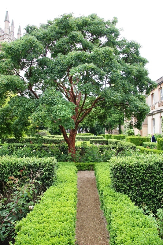 Mature Acer griseum
