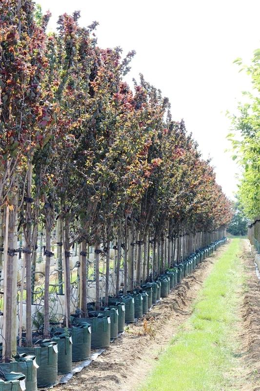 Prunus cerasifera Crimson Point in summer foliage on the Barcham Trees nursery