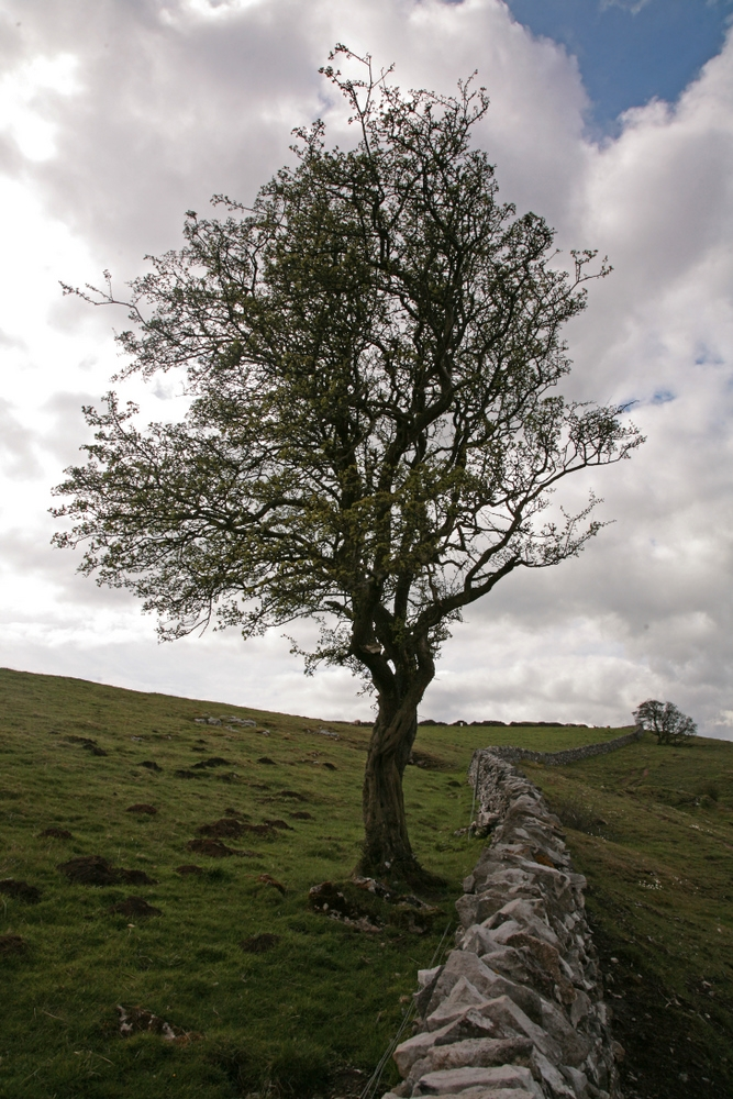 A mature specimen of Crataegus monogyna in an exposed rural situation
