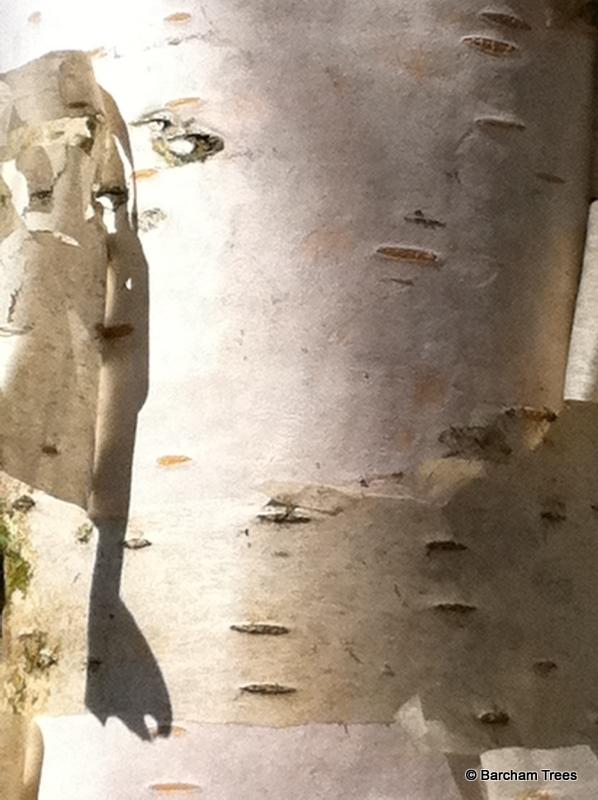 Betula pendula Zwisters Glory bark