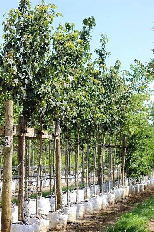 Davidia involucrata on the rows of the Barcham Trees nursery