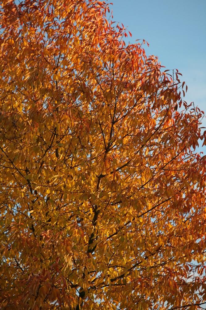 The bright red and orange autumn colour of Prunus avium