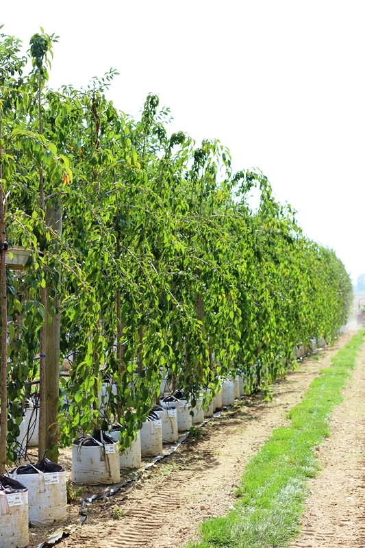 Prunus Cheals Weeping in summer foliage on the Barcham Trees nursery