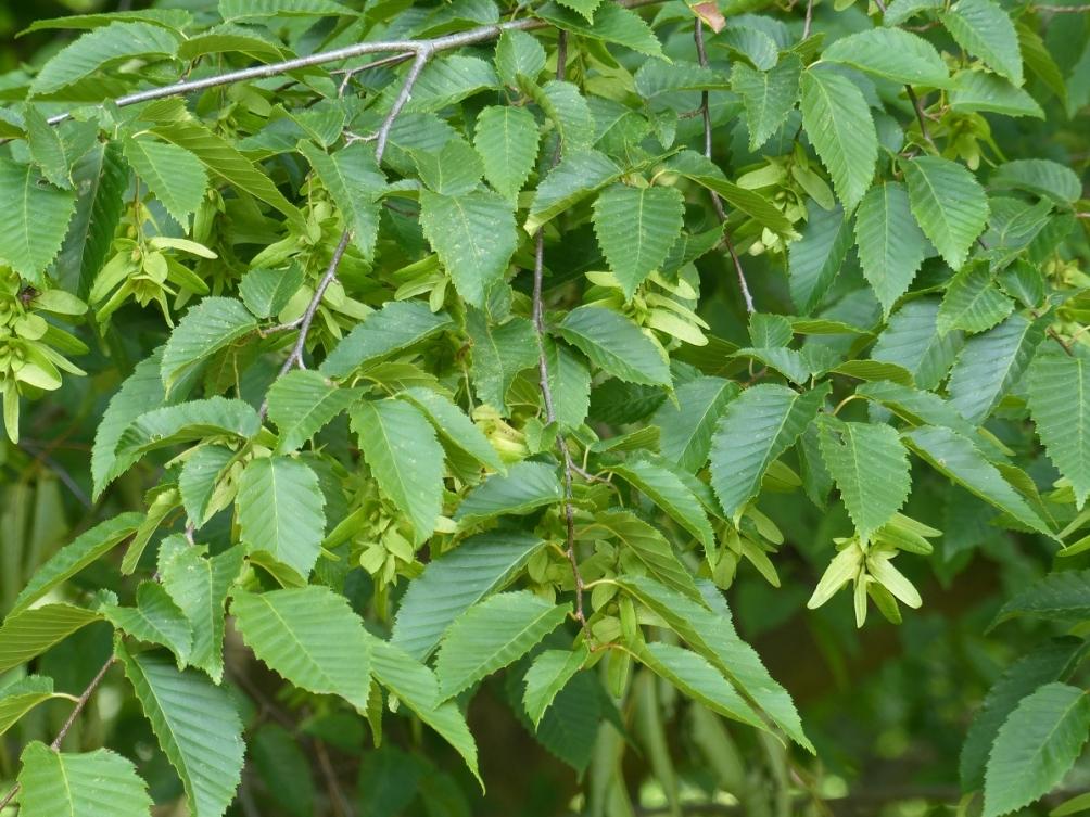 Carpinus leaves in detail