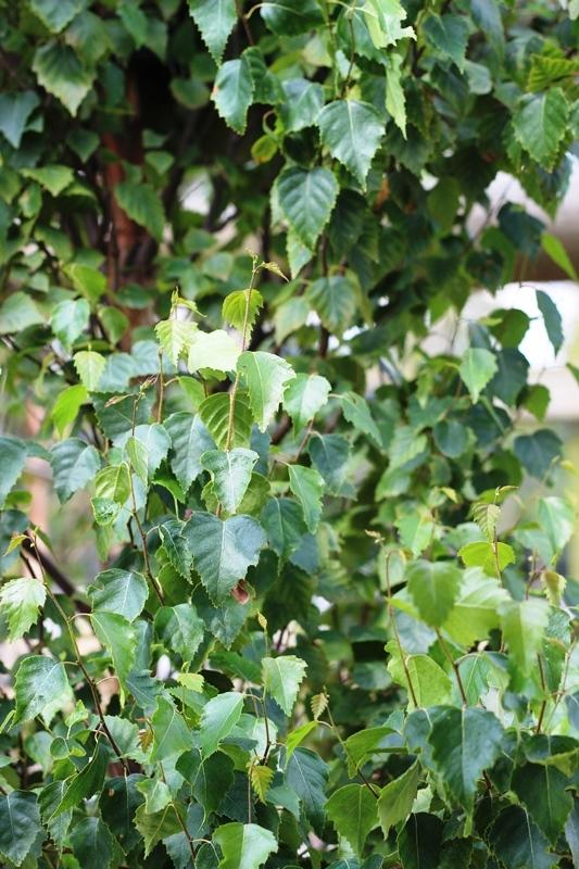 Betula pendula Fastigiata leaves