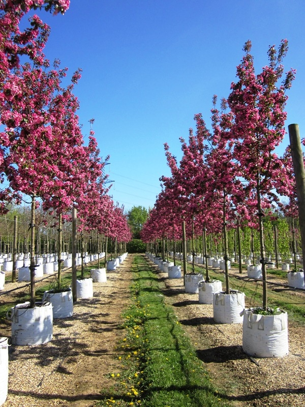 A double row of Instant sized Malus Rudolph on the Barcham Trees nursery