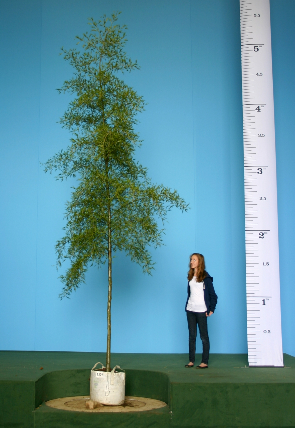 Scaled image of Alnus Glutinosa Imperialis size Medium