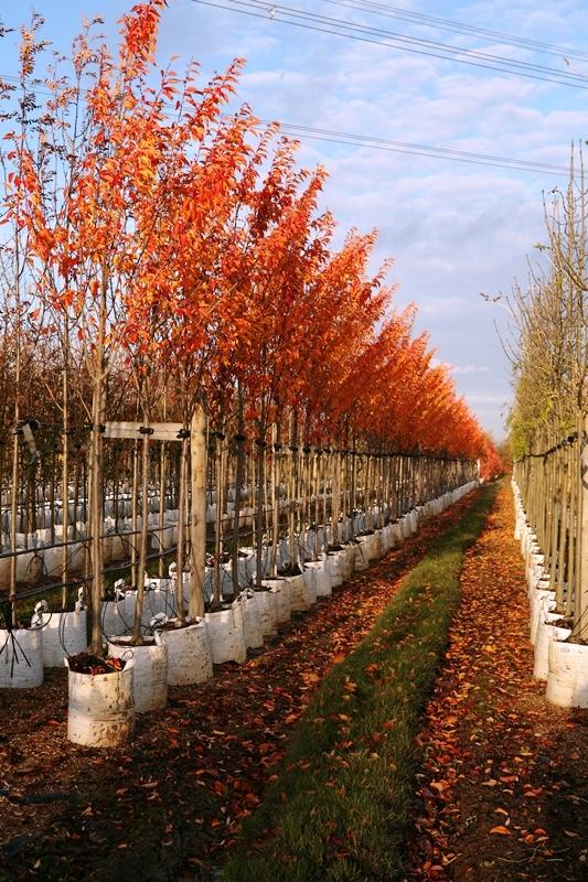 Prunus Umineko showing autumn colour on the Barcham Trees nursery