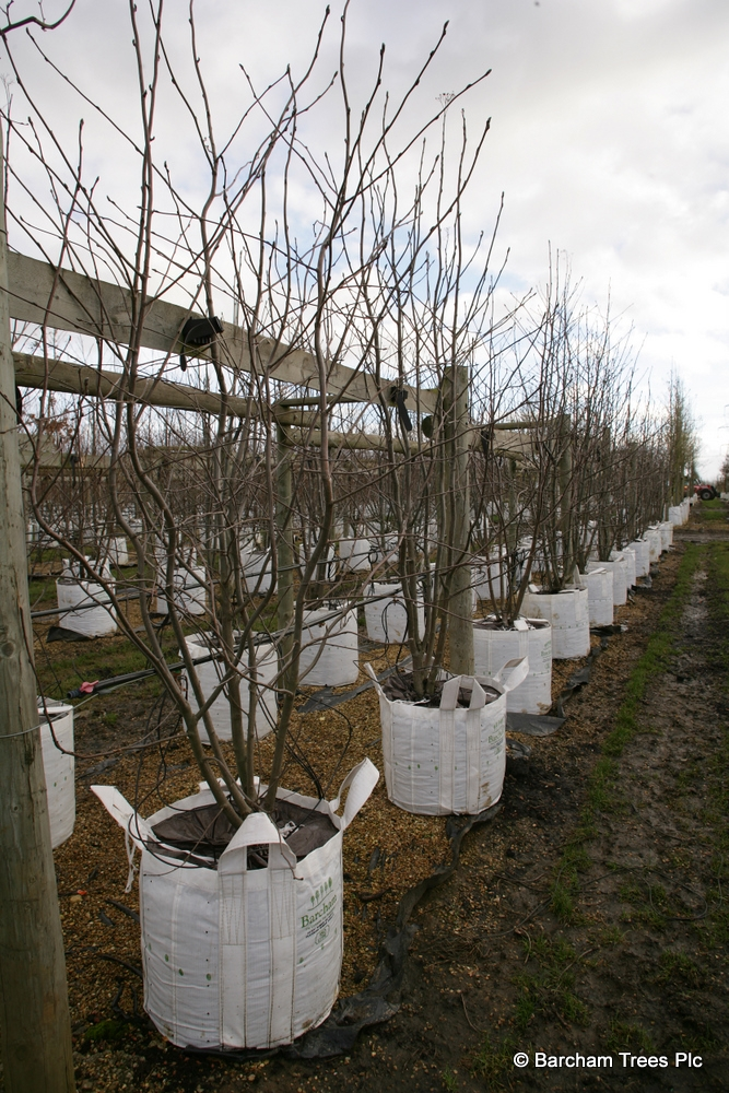 A row of Sorbus aucuparia multistems in the winter time