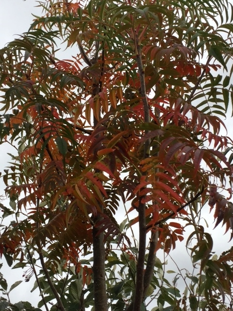 Autumn colours of Sobus commixta Olympic Flame