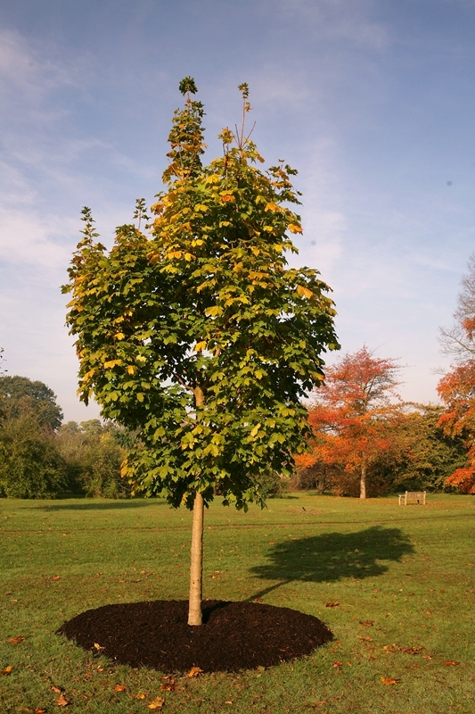 Semi-mature Acer platanoides Cleveland planted in the landscape