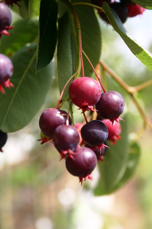 Berry produced by Amelanchier Ballerina