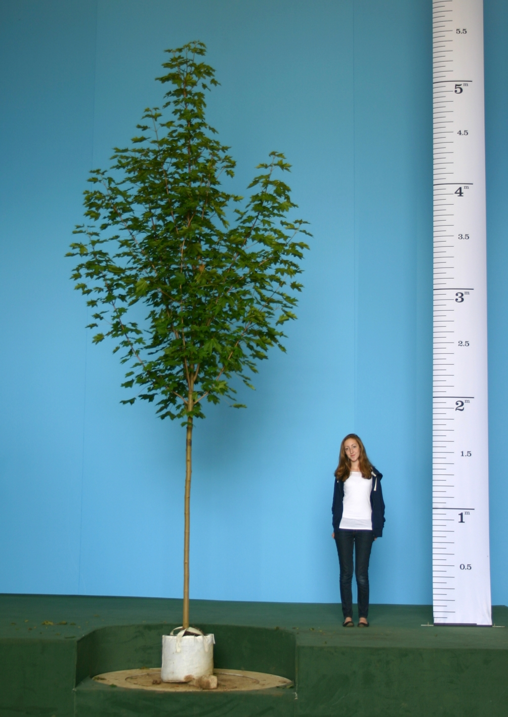 Scaled image of Acer platanoides Emerald Queen size Medium