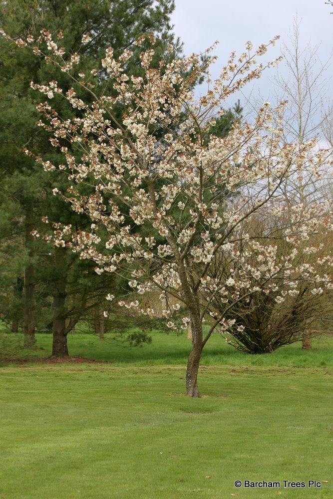 A mature specimen of Prunus Ukon in a parkland environment