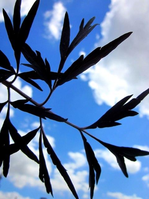 The cut leaf of Sambucus nigra Black Lace