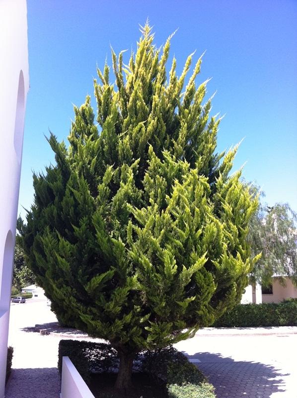 A mature specimen of Cupressus macrocarpa Goldcrest in the urban environment