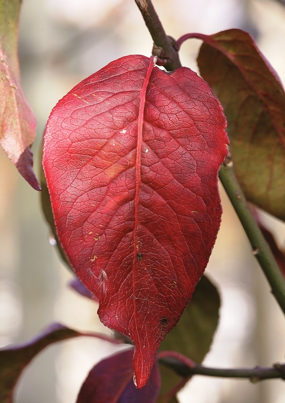 Autumn leaf of Euonymus europaeus Red Cascade up close