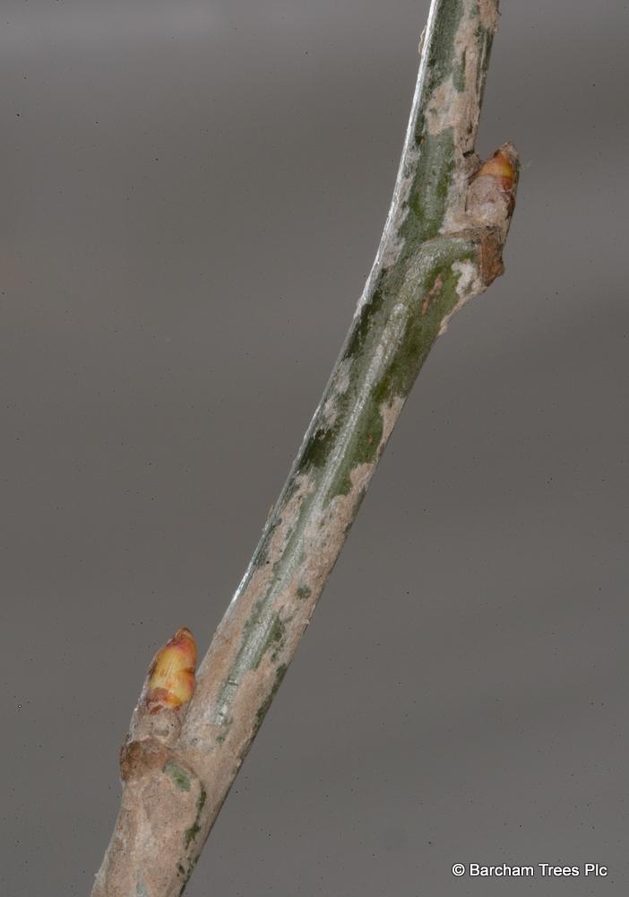 Populus alba Racket on the nursery at BArcham Trees