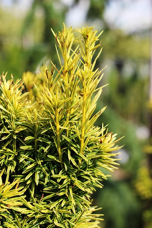 Foliage in detail of Golden Irish Yew