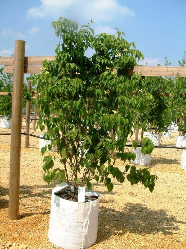 Cornus kousa Chinensis on the Barcham Trees nursery
