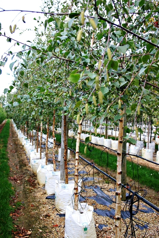 Betula pubescens during the summer on our nursery