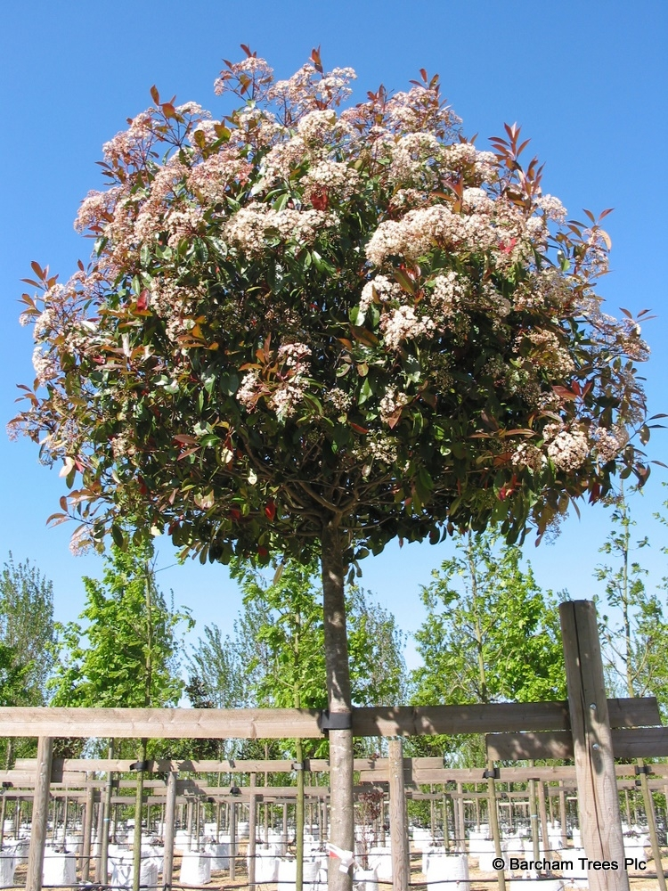 The crown of a Photinia Red Robin in full flower