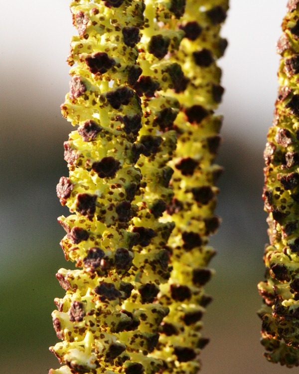 Catkins of Silver Birch