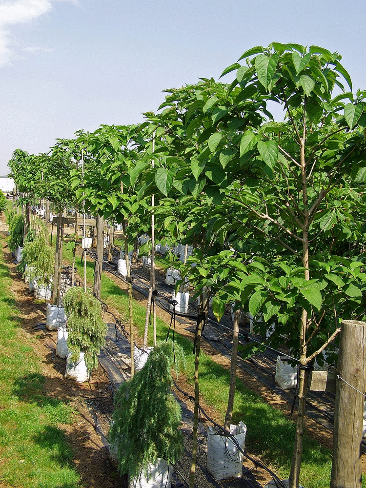 Clerodendron trichotomum in full leaf on the Barcham Trees nursery