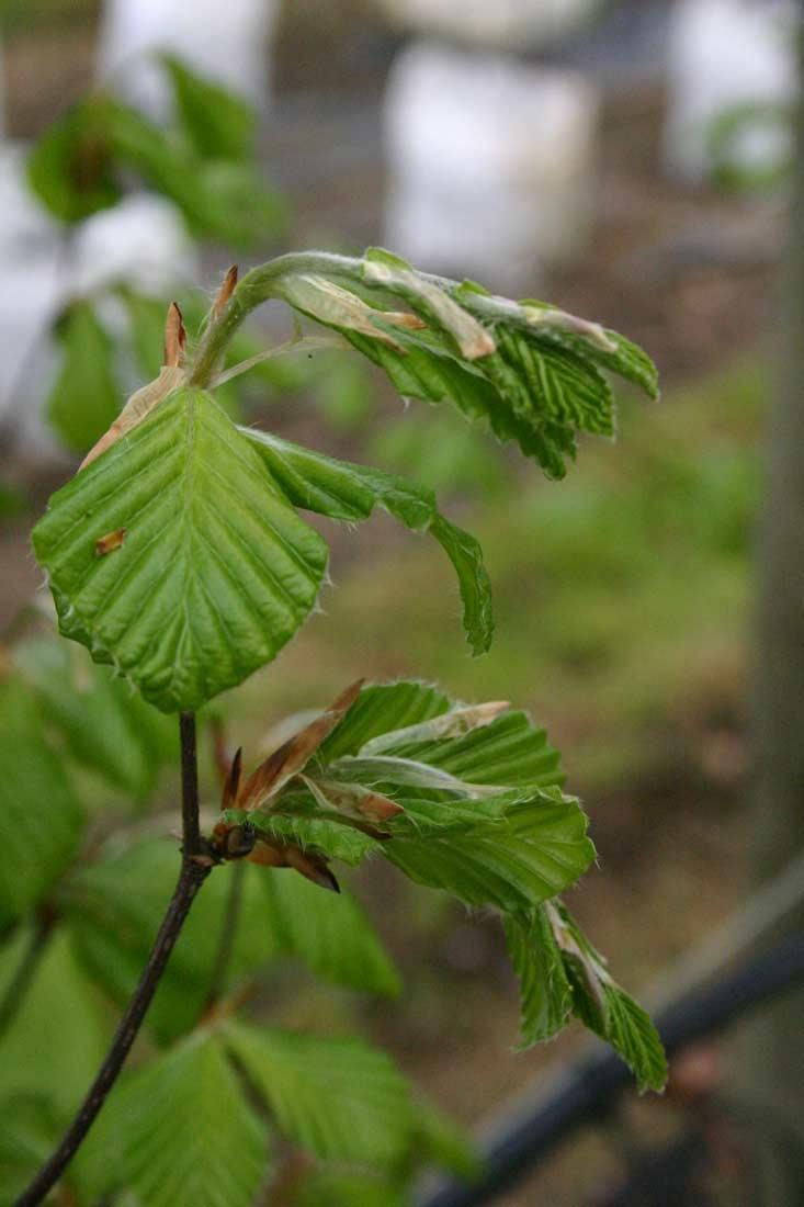 The soft new growth of Fagus sylvatica Dawyck