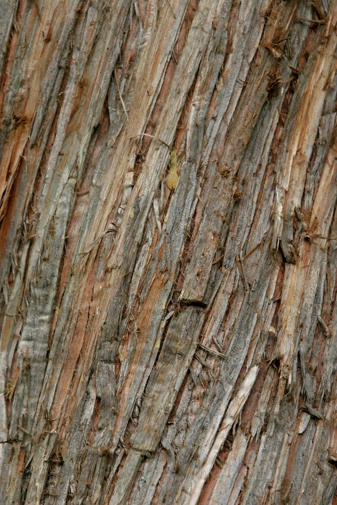 The mature barck of a Thuja plicata Atrovirens