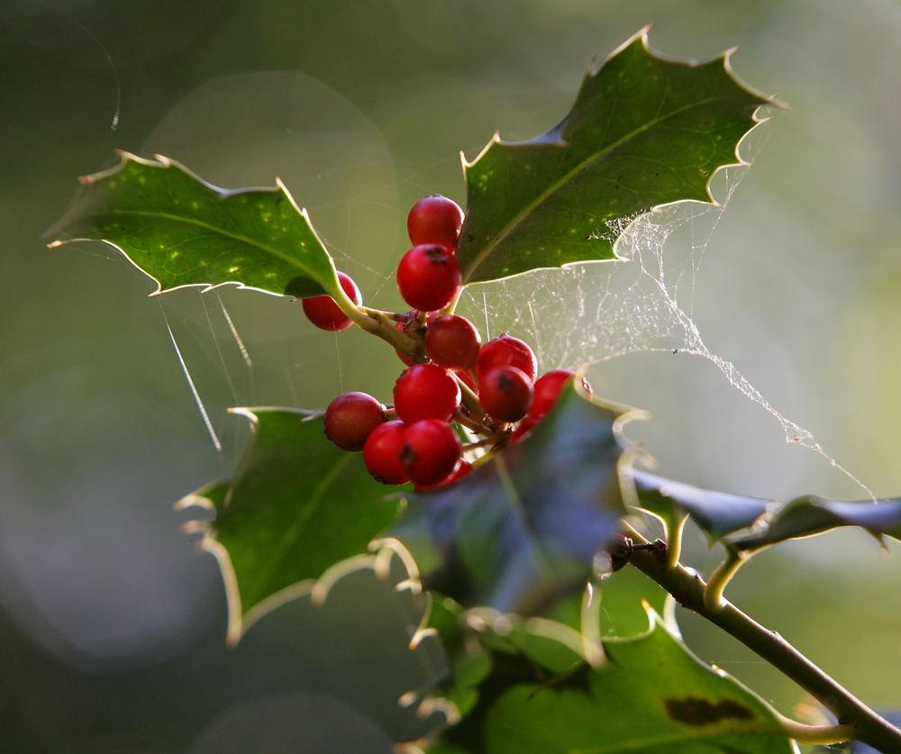 The foliage and berries of Ilex aquifolium in detail