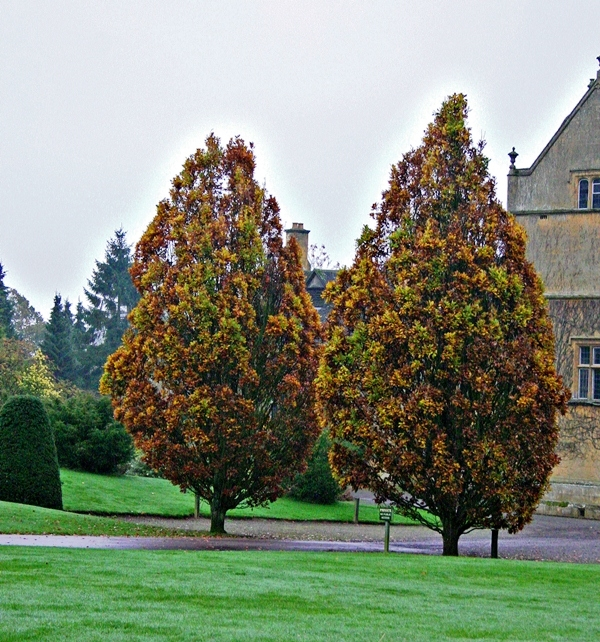 Mature Fastigiate Oak planted at the entrance to a stately home