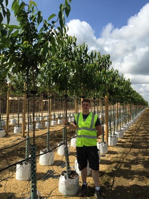 Edible Cherry Tree Medium