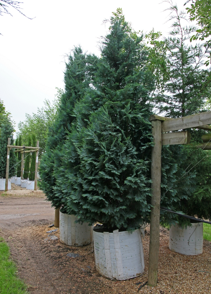 A Large specimen of Chamaecyparis lawsoniana Columnaris Glauca in detail