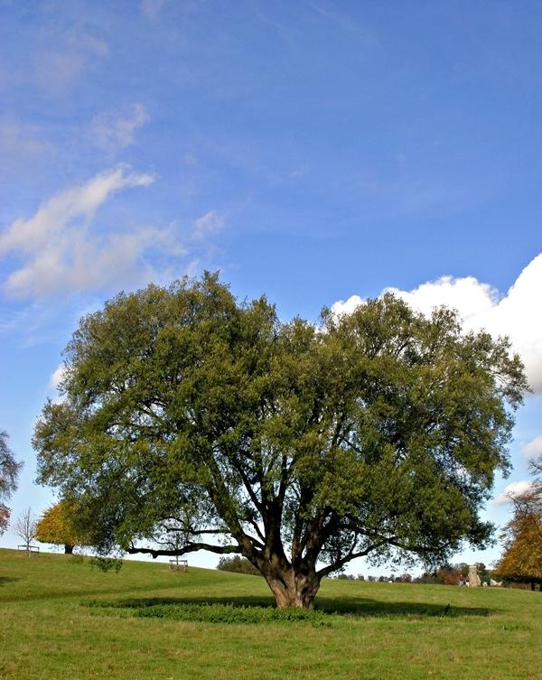 Mature Quercus ilex planted in the landscape