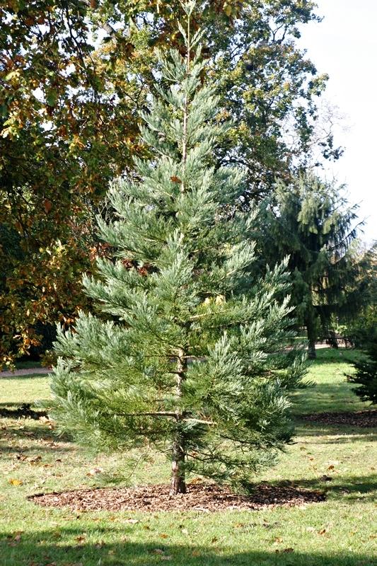A newly planted specimen of Sequoiadendron giganteum Glauca