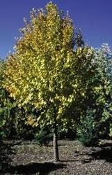Mature Tilia cordata x mongolica Harvest Gold
