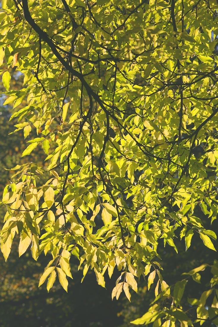 The foliage of Euodia hupehensis