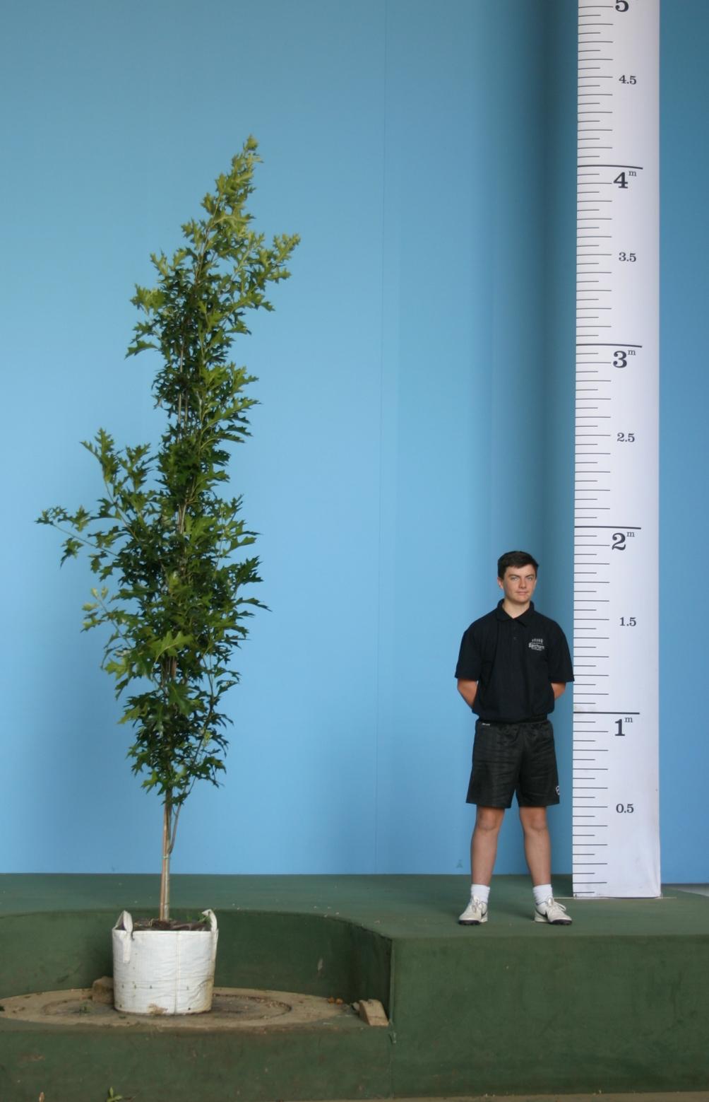 A scaled, Medium sized specimen of Quercus palustris Green Pillar