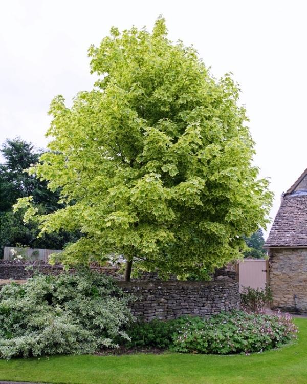 Mature Acer platanoides Drummondii