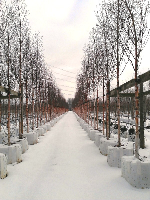 Nursery shot of Betula albosinensis Fascination in the winter