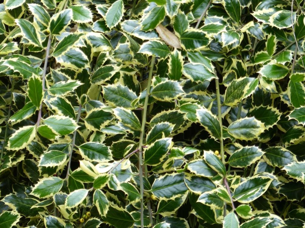 The foliage of Ilex aquifolium Aregentea Marginata in detail