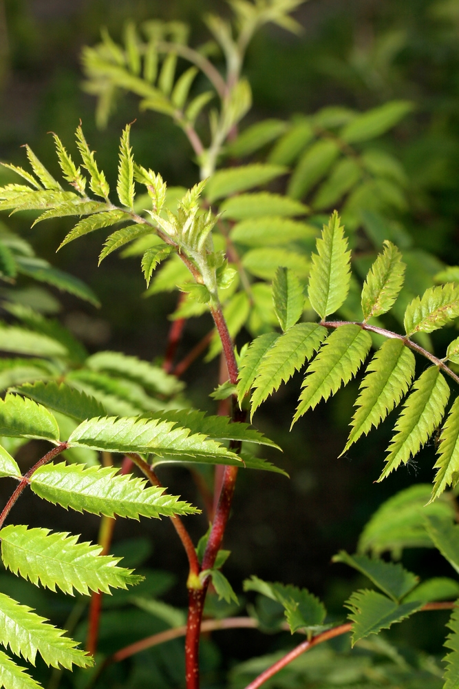 The stunning green fern like foliage of Sorbus aucuparia